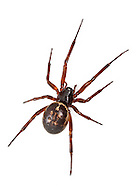 "Steatoda nobilis - Female. A Theridiid spider and the most potent ""False Widow"" having colonised the UK probably from Madiera and the Canary Islands. It is now extremely common in and around houses and the wider countryside in Southern Britain."
