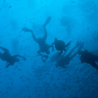 Ecuador, Galapagos Islands, Darwin Island, Underwater view of Scuba Divers with Pacific Sea Turtle and schooling fish