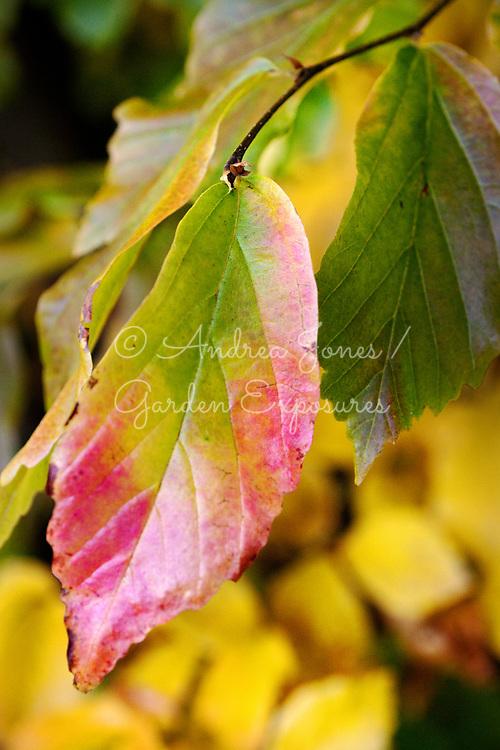 Parrotia persica (Persian ironwood) leaf