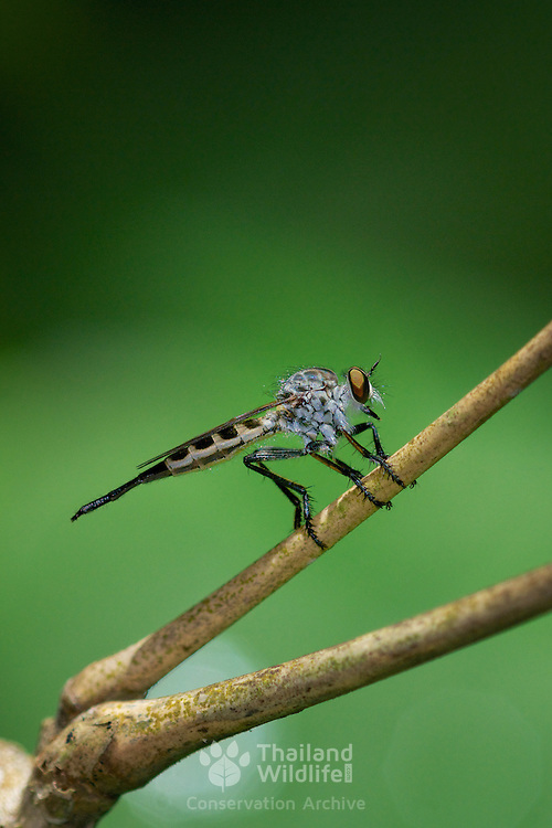 "The Asilidae are the robber fly family, also called assassin flies. They are powerfully built, bristly flies with short, sharp, stout sucking mouthparts. The name ""robber flies"" reflects their notoriously aggressive predatory habits; they feed mainly on other insects and they largely wait in ambush and catch their prey in flight."