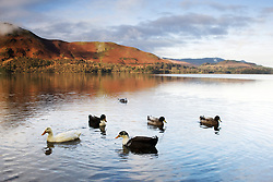 July 21, 2019 - Ducks In Lake, Cumbria, England (Credit Image: © John Short/Design Pics via ZUMA Wire)