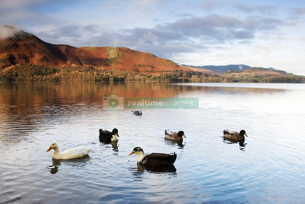 July 21, 2019 - Ducks In Lake, Cumbria, England (Credit Image: © John Short/Design Pics via ZUMA Wire)