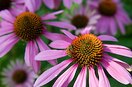 Bee on Purple Echinacea
