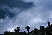 Giant tree groundsels (Senecio keniodendron) silhouetted against an approaching afternoon storm at the head of the Teleki Valley on Mount Kenya.  The Naro Moru Route onto the mountain climbs over to Vertical Bog to the Teleki Valley, with Mackinder's Camp 4300m (14,100ft) and American Camp 4375m (14,354ft) at the head of the valley.  Directly above American Camp lies the Arrow Glacier, which falls from the Gate of Mists - the col between the summits of Batian 5199m (17,057ft) and Nelion 5188m (17,021ft).  Nikon F4, 28-70/3.5, Kodak E100SW.
