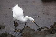 Snowy Egret (Egretta thula) - hunting at Lake Murray, San Diego, CA