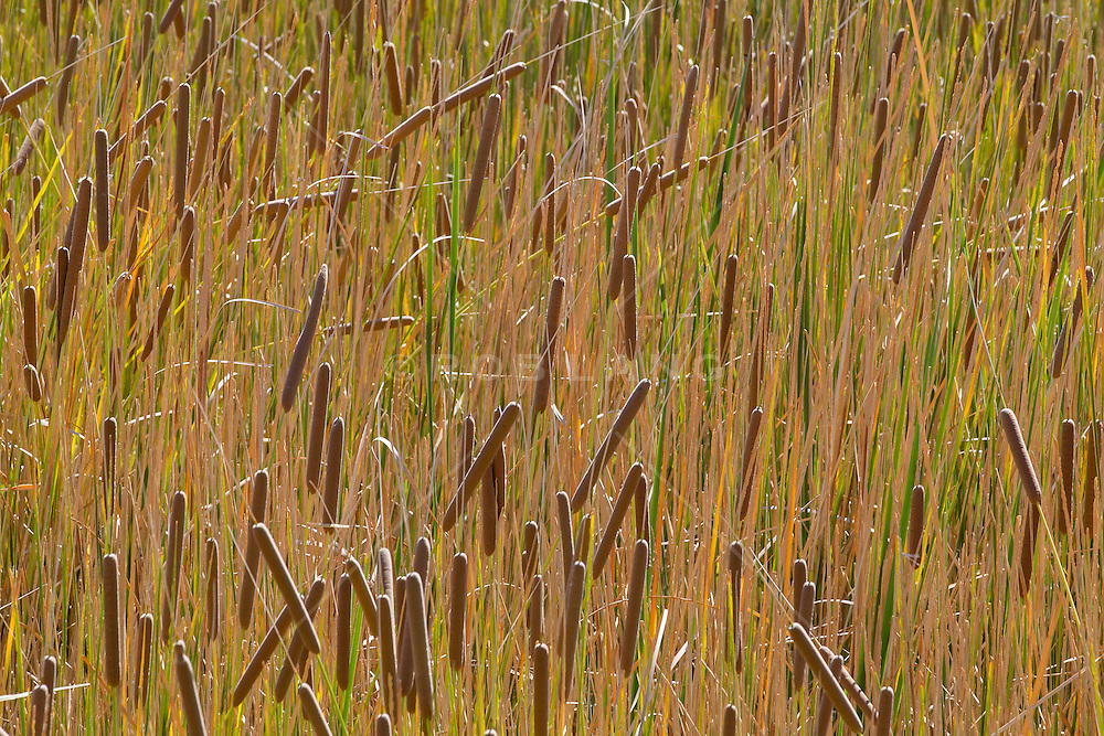 cattails and tall grass in the wetlands of New Mexico