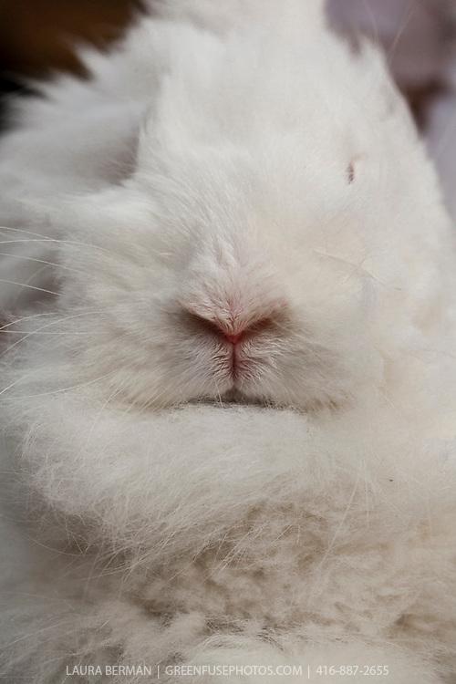 A white, long-hair Angora rabbit.