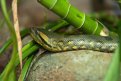 19 October 2010: Green Anaconda snake. St. Louis Zoo, St. Louis Missouri (Photo by Alan Look)