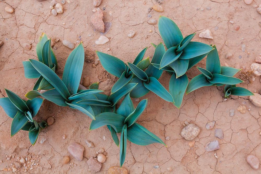 Sea squill leaves (Drimia maritima) growing in the desert in Wadi Rum, Jordan.
