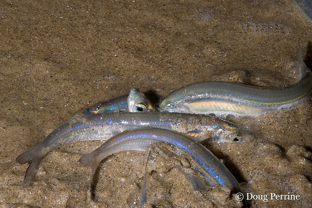 California grunion, Leuresthes tenuis, spawning; female is buried in sand with head sticking up and depositing eggs in beach sand; males surround her depositing milt to fertilize the eggs; grunion spawn at high tides following spring and summer full moons and new moons, San Diego