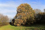Oak tree autumn but sky, Sandlings heathland, Shottisham, Suffolk England, UK