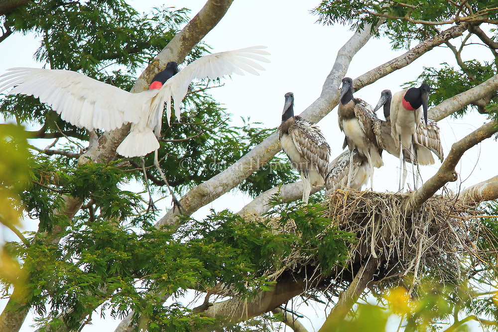 Mating pair of jabiru (Jabiru mycteria) and their offspring at nest. Tropical dry forest, Palo Verde National Park, Guanacaste, Costa Rica.