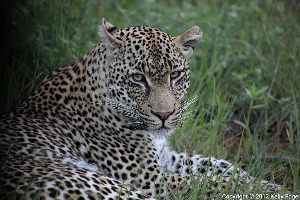 Sabi Sands, bordering Kruger National Park, South Africa (December 2012) african wildlife