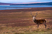 A wild male Red Deer in a Glen in Sutherland, Scotland.