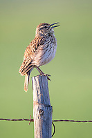 Agulhas long-billed Lark singing from a fence post, Renosterveld, Western Cape, South Africa
