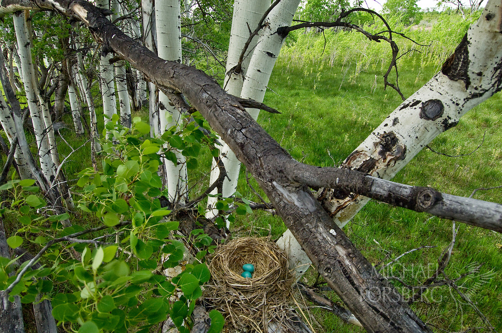 A robin nest with two eggs sits tucked on an aspen limb above an aspen glade and wet prairie habitat in the Teton river drainage.  Montana.