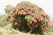 Africa, Ethiopia,Oromia Region, Bale Mountains flowering Flame Tree Peltophorum africanum