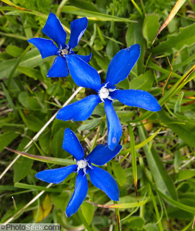"""An alpine """"spring gentian"""" flower (Gentiana verna, in the family Gentianaceae) blooms with a deep blue five-lobed corolla (set of petals), at Passo di Giau, Dolomites / Dolomiti, the Alps, Italy, Europe. From Gasthaus Passo di Giau (2236 meters), explore scenic trails of the Dolomites. The Dolomites were declared a natural World Heritage Site (2009) by UNESCO."""