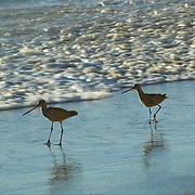 Sandpiper walking on the beach. Malibu,CA.USA.