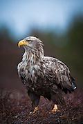 Havørn står på bakken | White-tailed Eagle standing on the ground.