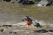 Nile Crocodile<br /> Crocodylus niloticus<br /> Hungry crocodiles attacking zebra<br /> Maasai Mara Reserve, Kenya