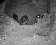 Packrat exploring area near peregrine falcon eyrie with adult female peregrine watching, juveniles close by.  [photo by motion-activated infrared camera, low-resolution limits repro. size] © 2016 David A. Ponton