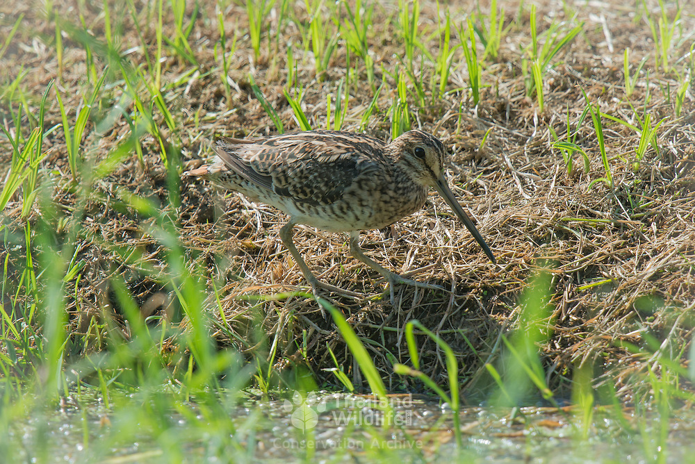 The common snipe (Gallinago gallinago) is a small, stocky wader native to the Old World. The breeding habitat is marshes, bogs, tundra and wet meadows throughout northern Asia. It is migratory, Asian migrants moving to tropical southern Asia.