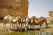 camel in sede boker desert, israel