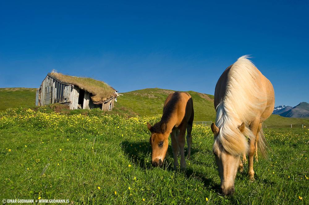 Horses in Iceland go free for the major part of the year