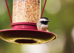 The Black-capped Chickadee is a small, North American songbird, a passerine bird in the tit family Paridae. It is the state bird of both Maine and Massachusetts in the United States, and the provincial bird of New Brunswick in Canada.