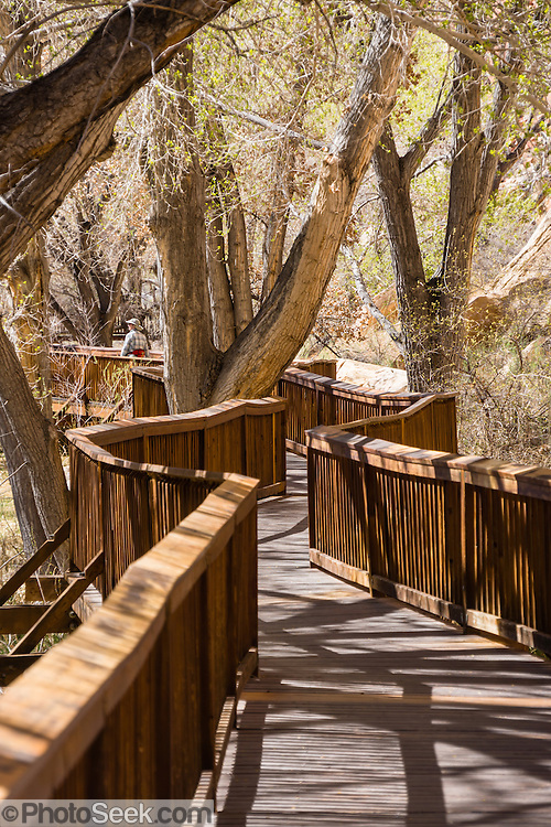 Cottonwood trees line the petroglyphs boardwalk on Utah Highway 24 in Capitol Reef National Park, USA.