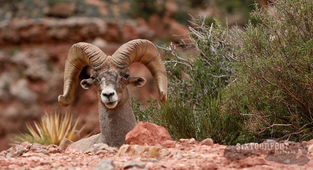 Photo by Gary Cosby Jr.  ..Bright Angel Trail is one of the most popular in Grand Canyon.  The trail descends from either rim of the Canyon and goes all the way to the Colorado River.  A big horn sheep is one of many creatures you can see from the trail.