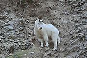 Rocky Mountain goat (Oreamnos americanus) on steep mountain side<br />Jasper National Park<br />Alberta<br />Canada