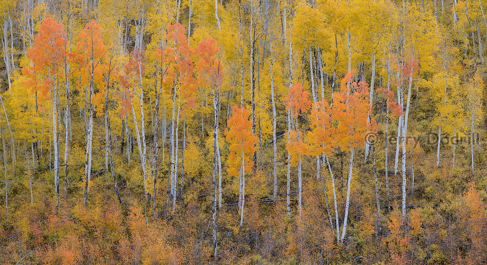 Aspen trees in autumn splendor near Ridgway, in Colorado's San Juan Mountains.