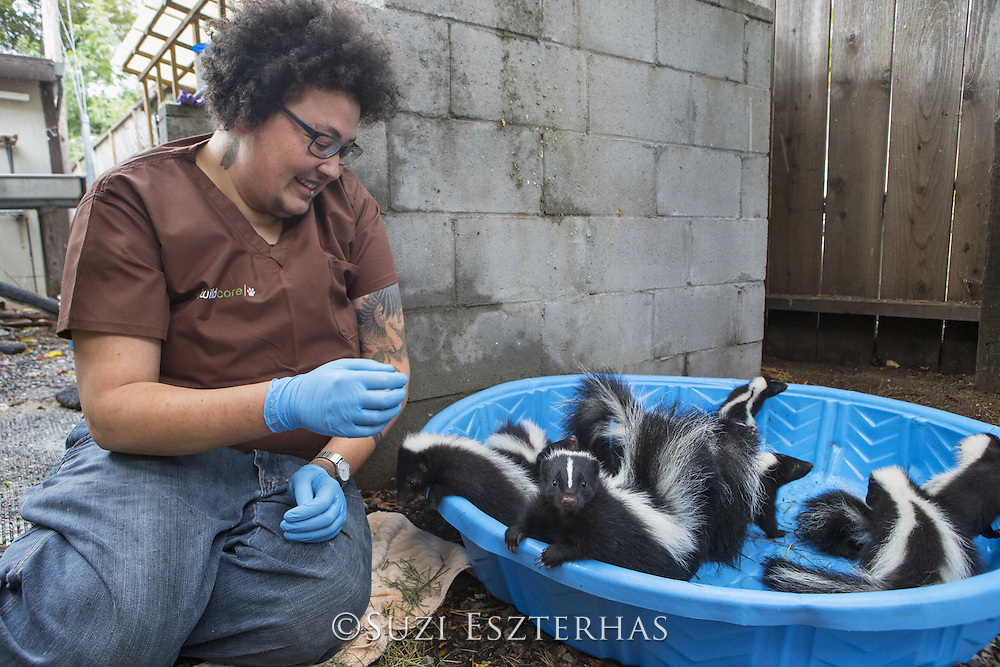 Striped skunk <br /> Mephitis mephitis<br /> Nat Smith, Veterinary Technician,with orphaned juvenile skunks (separated from mother by pest removal service)<br /> WildCare, San Rafael, California<br /> *model release available