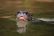 A giant river otter, Pteronura brasiliensis, swimming in the Cuiaba River, Pantanal, Mato Grosso, Brazil.
