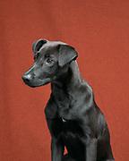 studio portrait of black dog mixed breed