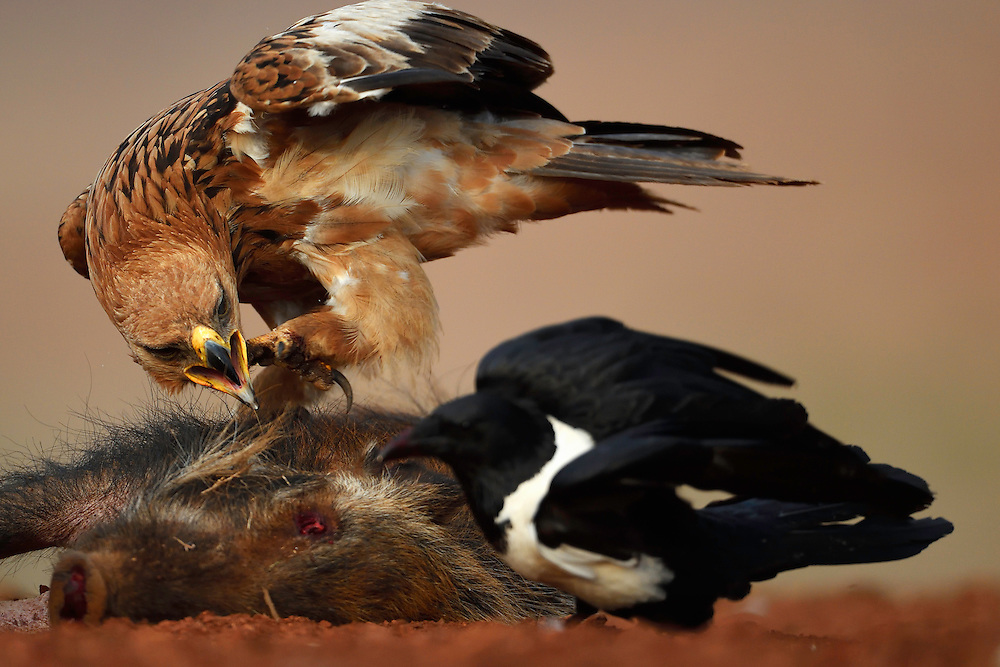 Tawny eagle (Aquila rapax), and Pied Crow, (Corvus albus) , Zimanga Private Nature Reserve, KwaZulu Natal, South Africa