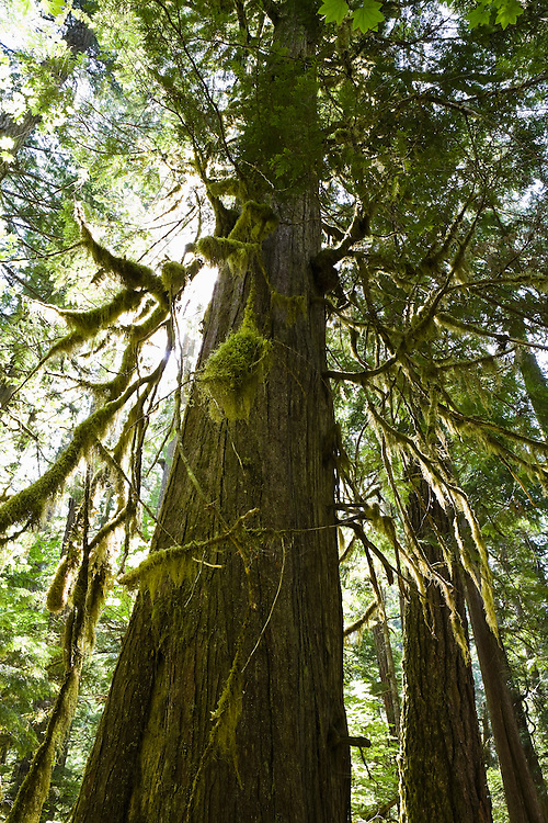 An old Western Red Cedar tree and forest in the North Cascades of Washington, USA.
