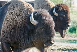 Texas State Bison Herd, Caprock Canyons State Park, Quitaque, Texas USA.
