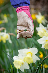 Deadheading spring flowering bulbs such as daffodils by pinching off spent flowers