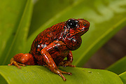 Pichincha Poison Arrow Frog (Oophaga sylvatica)<br /> CAPTIVE<br /> Northwest ECUADOR.<br /> South America<br /> RANGE: Ecuador, <br /> 0-1000m