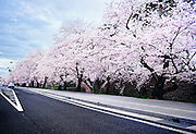 Outside of Hirosaki Castle park. Wonderful cherry blossoms flank the moat.<br />