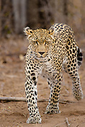 Female Leopard (Panthera pardus) walking