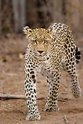 Female Leopard (Panthera pardus) walking