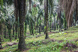 The perfectly lined up palm oil trees in one of the many palm oil plantations in Sumatra. Palm oil plantations are destroying the only habitat that is home to the remaining critically endangered Sumatran orangutan, Sumatra, Indonesia