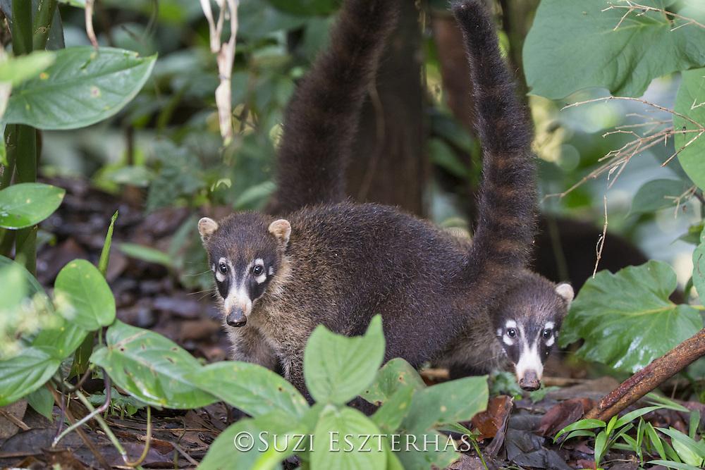 Coatimundi <br /> Nasua nasua<br /> Northern Costa Rica, Central America