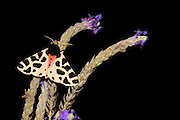 Cymbalophora oertzeni is a moth of the Arctiidae family. It is found in Israel and Palestine.