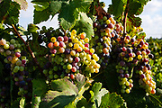 A large cluster of grapes growing in a bunch on vine. Photographed in Israel