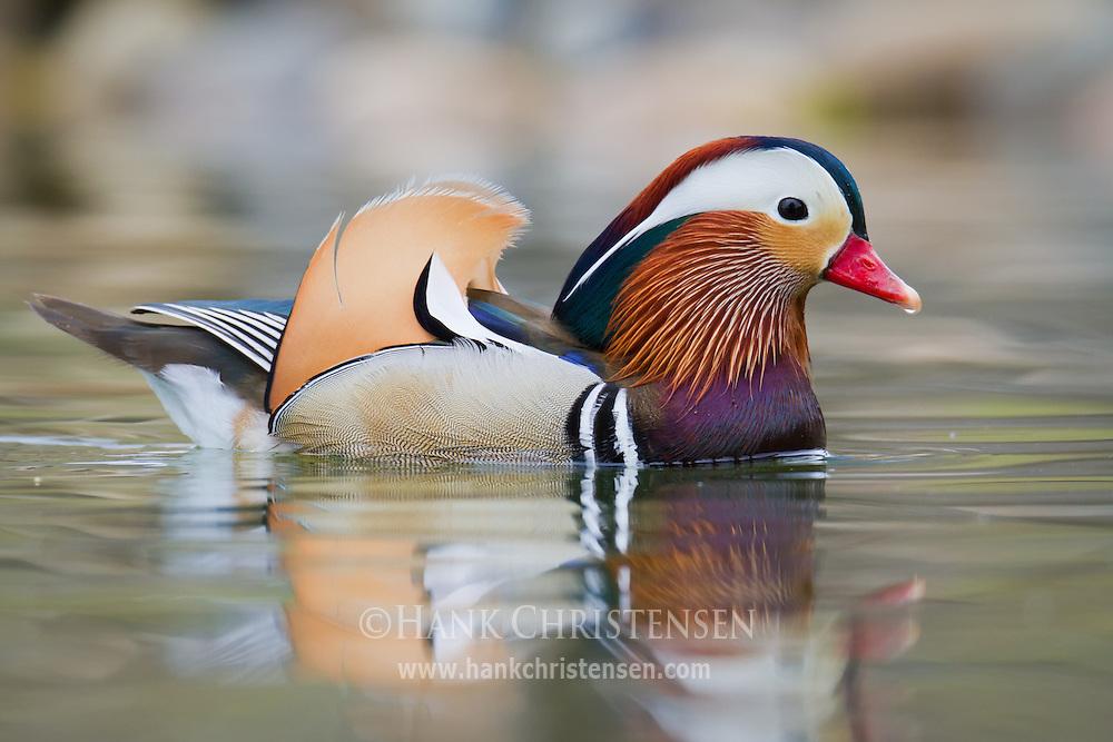 A mandarin duck swims through smooth, still water